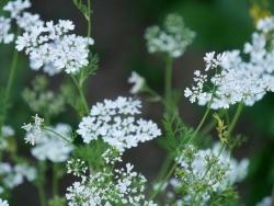 Koriander zur Blütenzeit