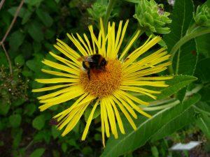 Alant Blüte