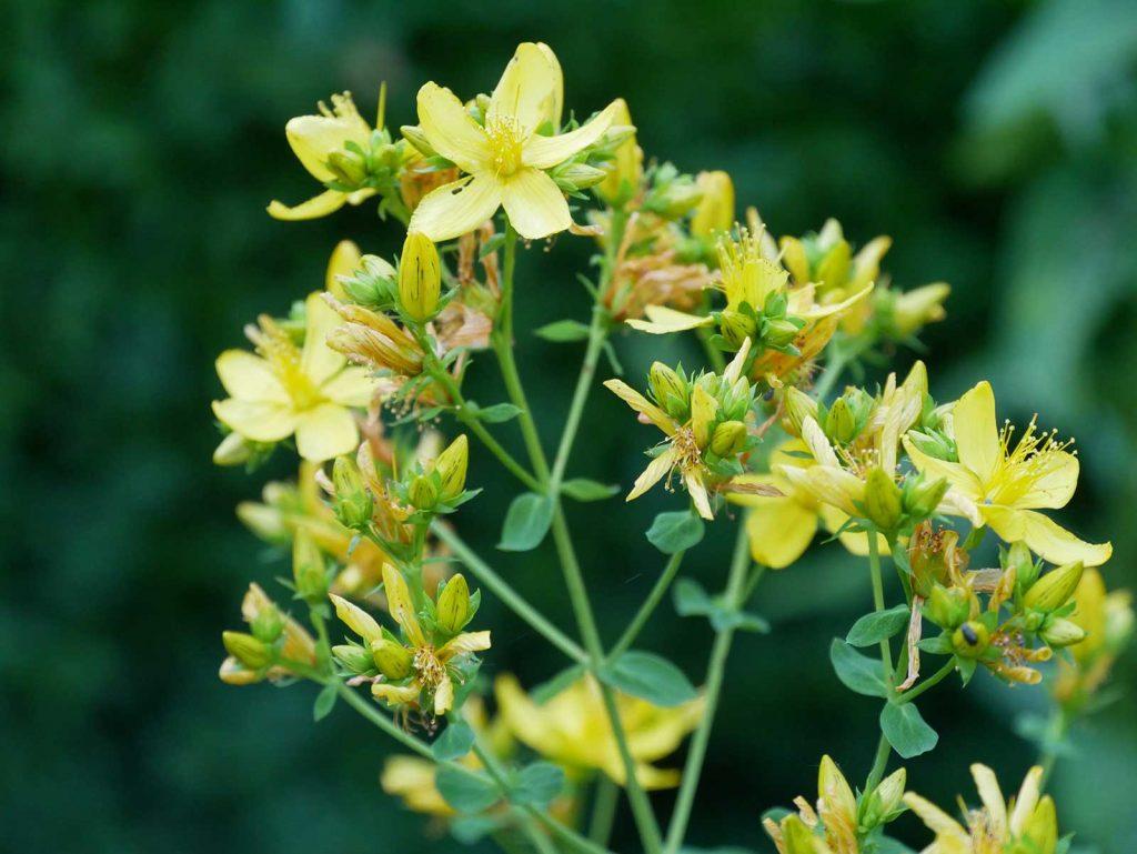 Johanniskraut zur Blütenzeit