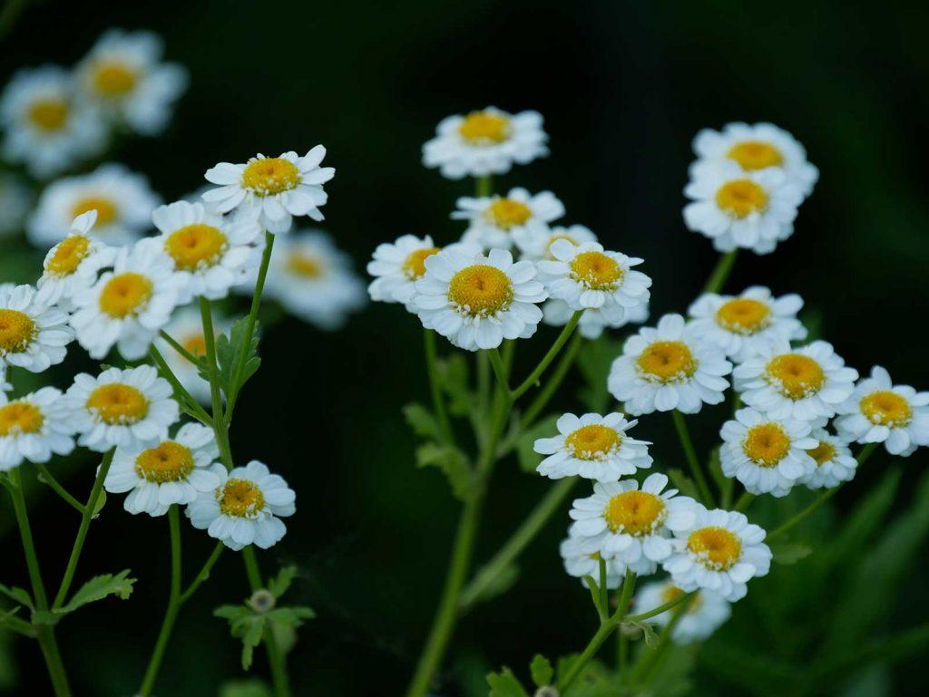 Mutterkraut Blüte