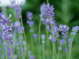 Lavendel zur Blüte