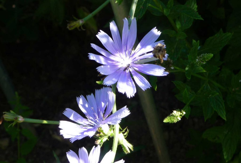 Wegwarte Blüte